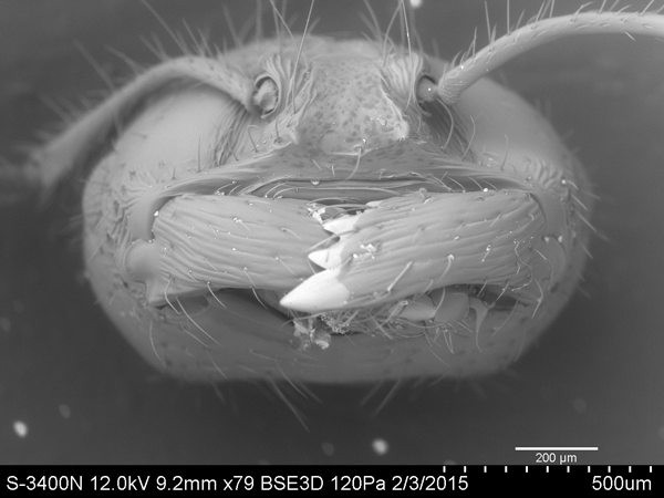 An ant under 79-times magnification. Courtesy of Eastfield College Scanning Electron Microscope Lab.