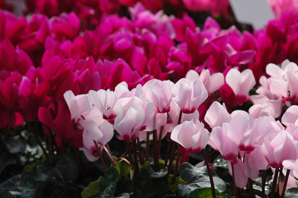Cyclamen flowers come in all the traditional Valentine's Day colors. (Handout/TNS)