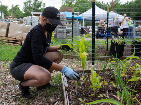 Bethany Salva helps at one of the Oak Cliff Veggie Project gardens on May 8. Photo by Rory Moore/The Et Cetera